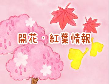 開花・紅葉情報
