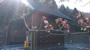 カワヅザクラ 第一ゲート付近